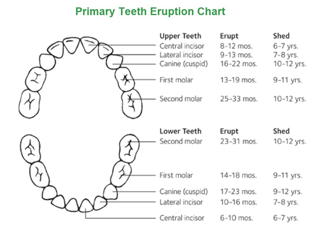 Little Chompers: Baby Teeth Development & Mouth Health